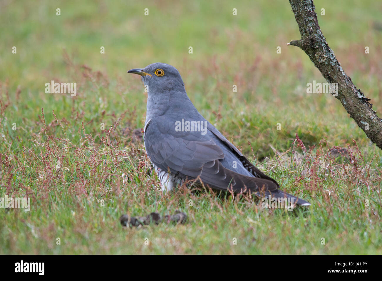 Close-up of cuckoo bird (Cuculus canorus) in Surrey, UK Stock Photo