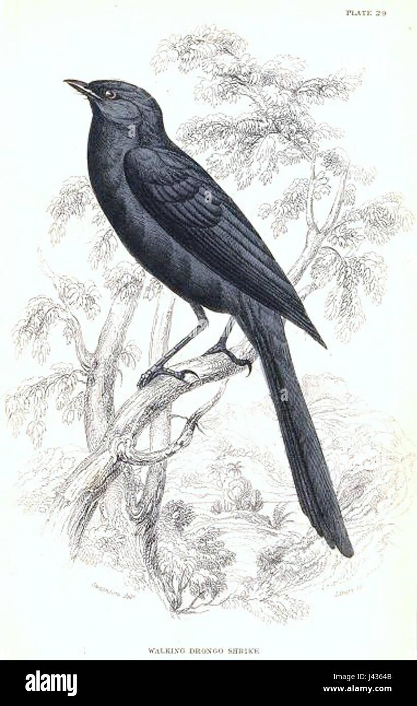 Melaenornis edolioides - Stock Image