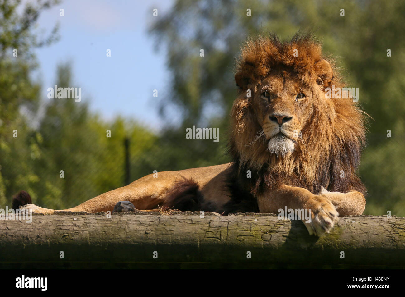 Lion at Knowsley Safari, Prescot, United Kingdom - Stock Image