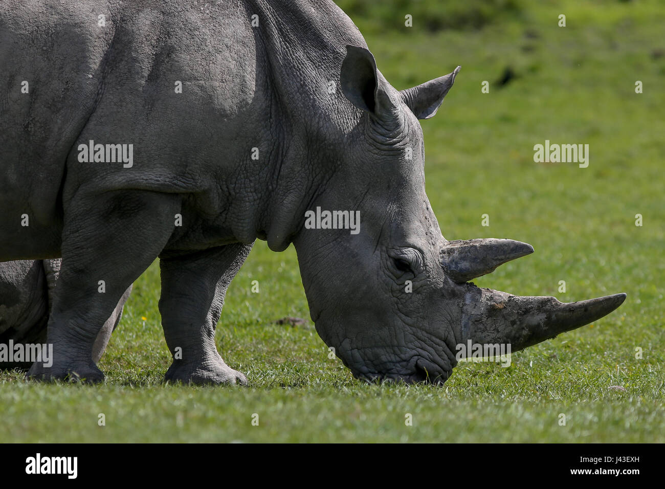 Rhino at Knowsley Safari, Prescot, United Kingdom - Stock Image
