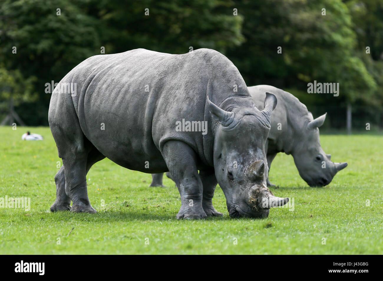 Rhino's at Knowsley Safari Park, Prescot, United Kingdom - Stock Image