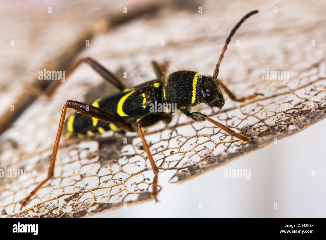 Wasp beetle (Clytus arietis). A striking yellow and black wasp mimic in the family Cerambycidae, displaying Batesian - Stock Image