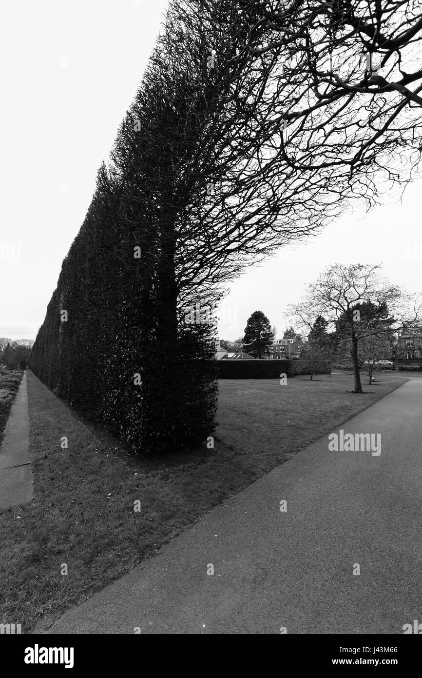A tree in the distance on the side of a footpath against an arching long bush fence in black and white at the Royal - Stock Image