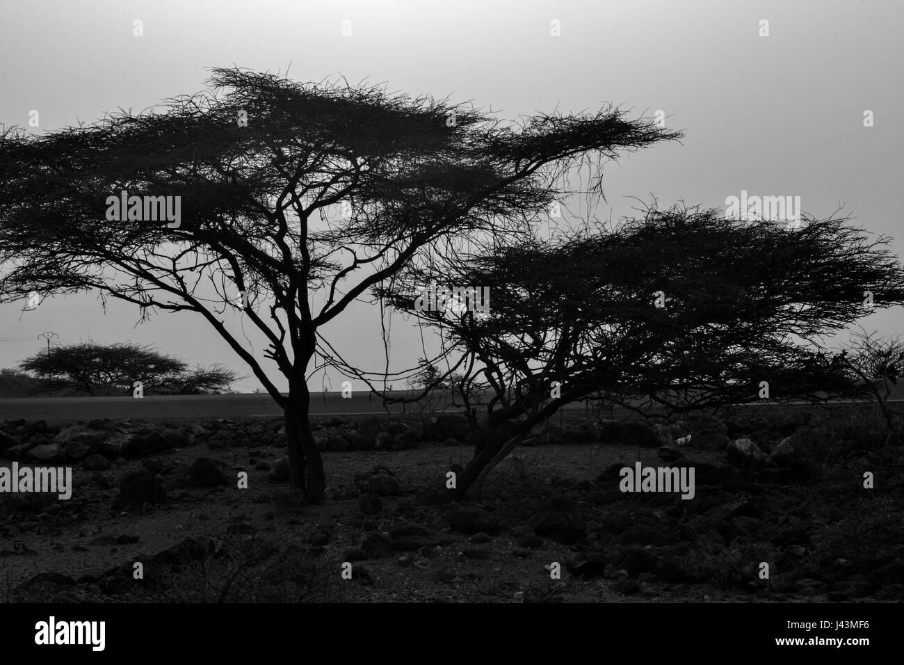Acacias Tree in Arta Region in Djibouti - Stock Image