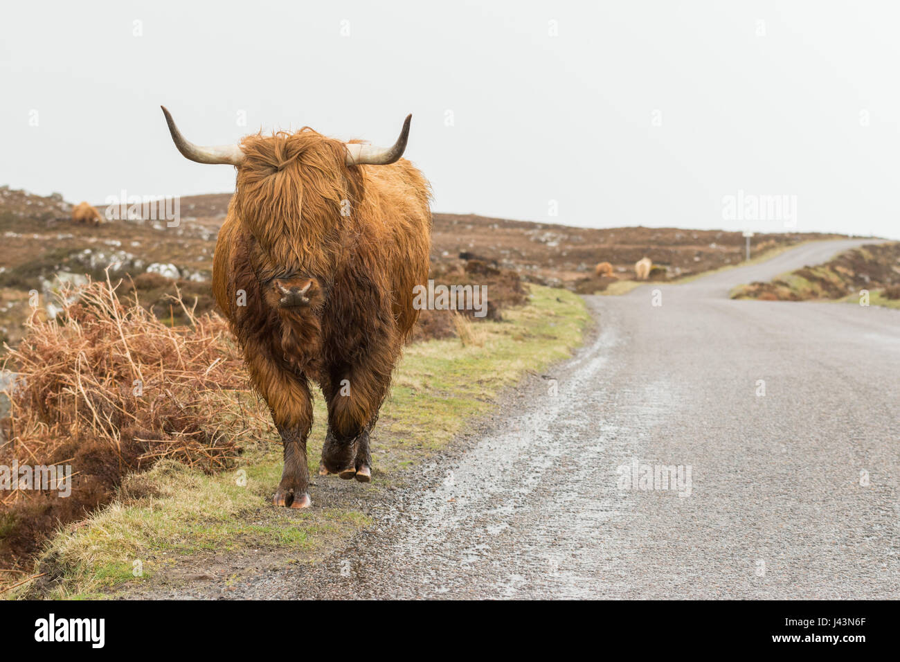 North Coast 500 - Highland Cow walking along the side of the road on the Applecross peninsula - part of the North - Stock Image