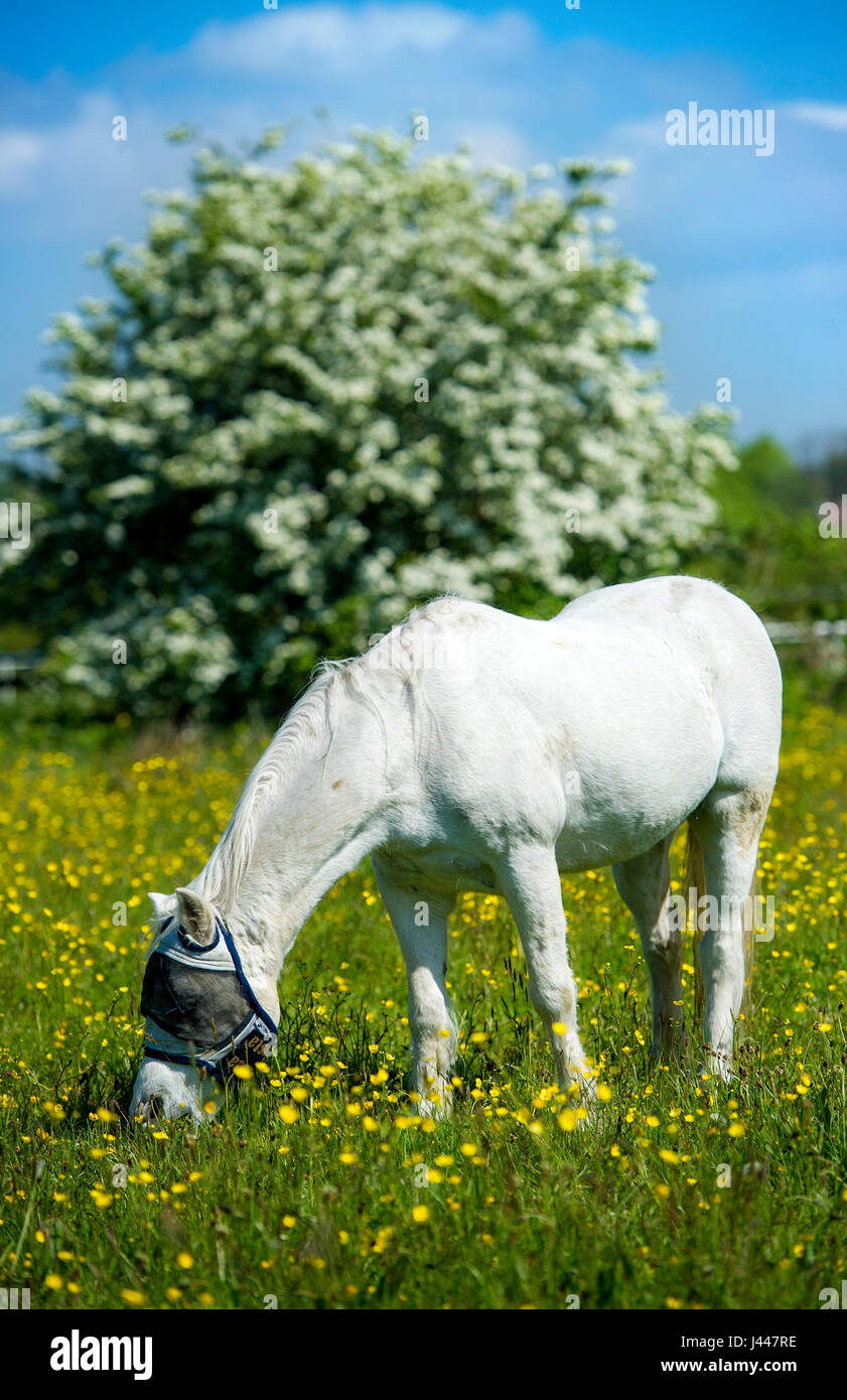 Bolton, UK. 10th May, 2017. UK Weather. A white horse grazes in a field of buttercups under glorious blue skies - Stock Image