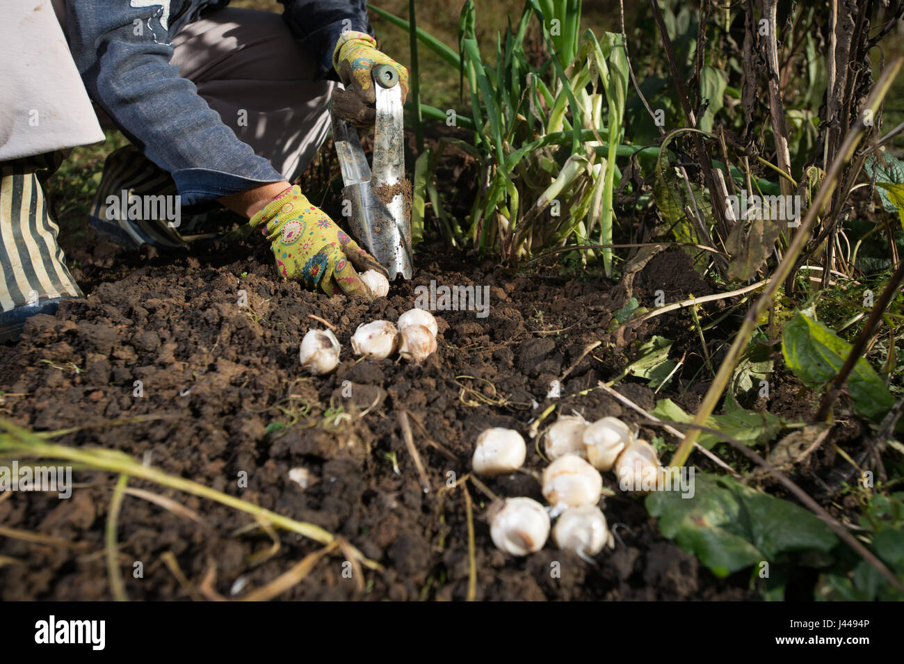 Close Up Of Hand Planting Bulbs With Flower Bulb Planter Outdoors In