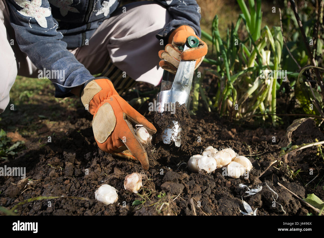 Close Up Of Hand With Gloves Planting Bulbs With Flower Bulb Planter
