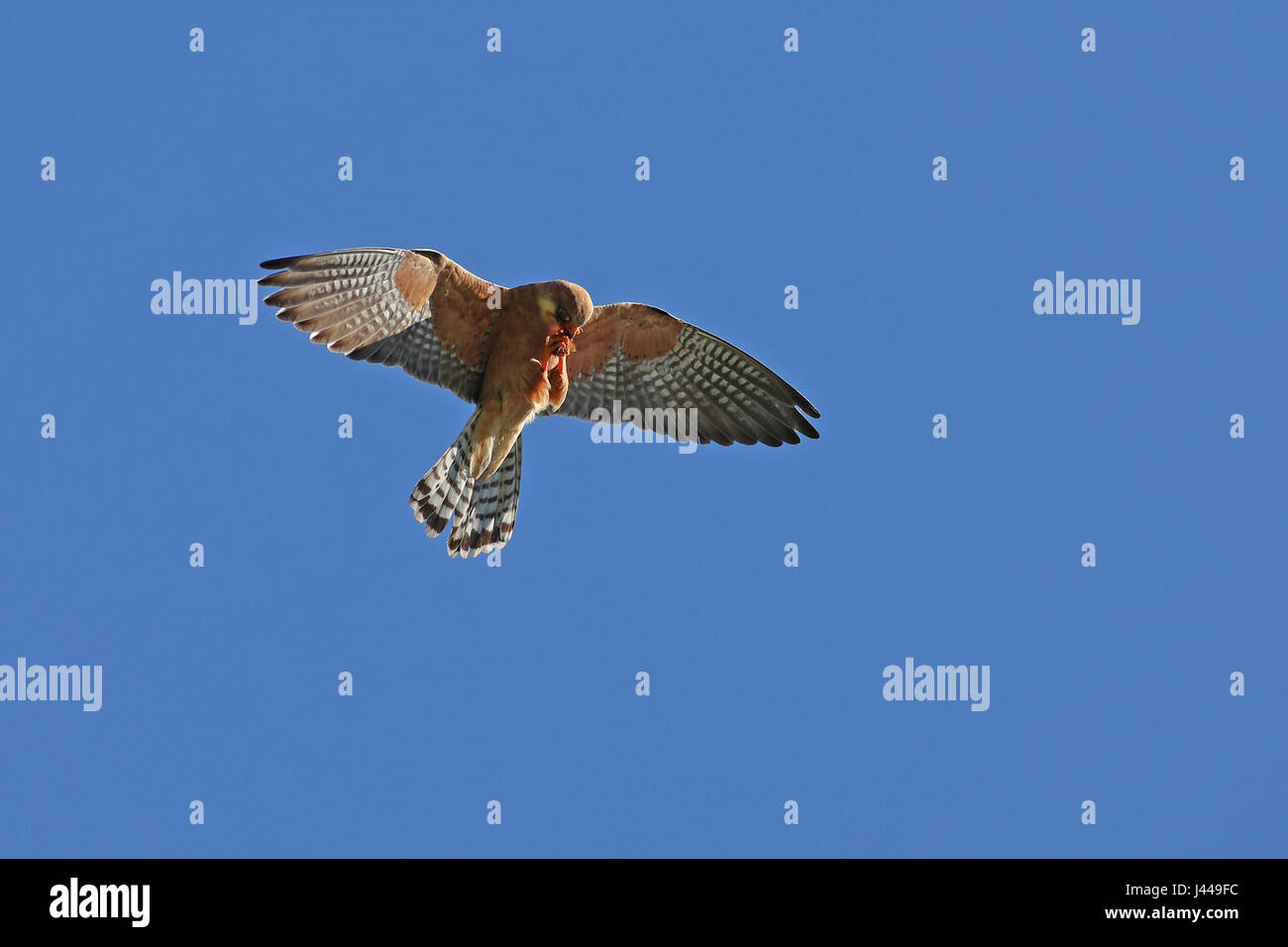 Female red-footed falcon, Falco Vespertinus, in flight clutching its prey - Stock Image