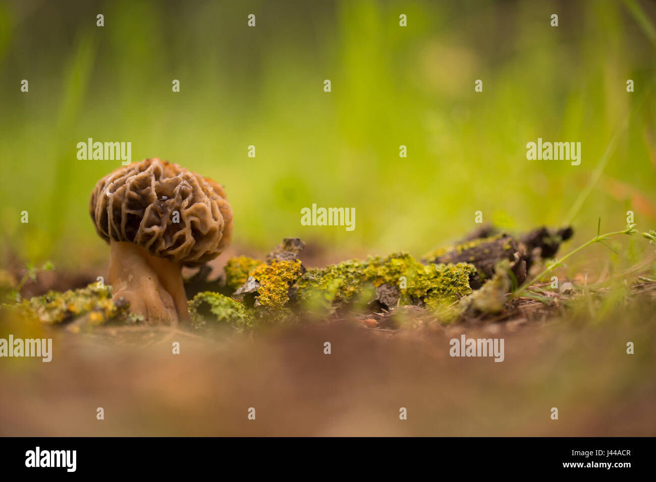 Morel mushroom (Morchella conica) growing in soil. These mushrooms are the fruiting bodies of this fungus and can reach several centimetres in height. Stock Photo