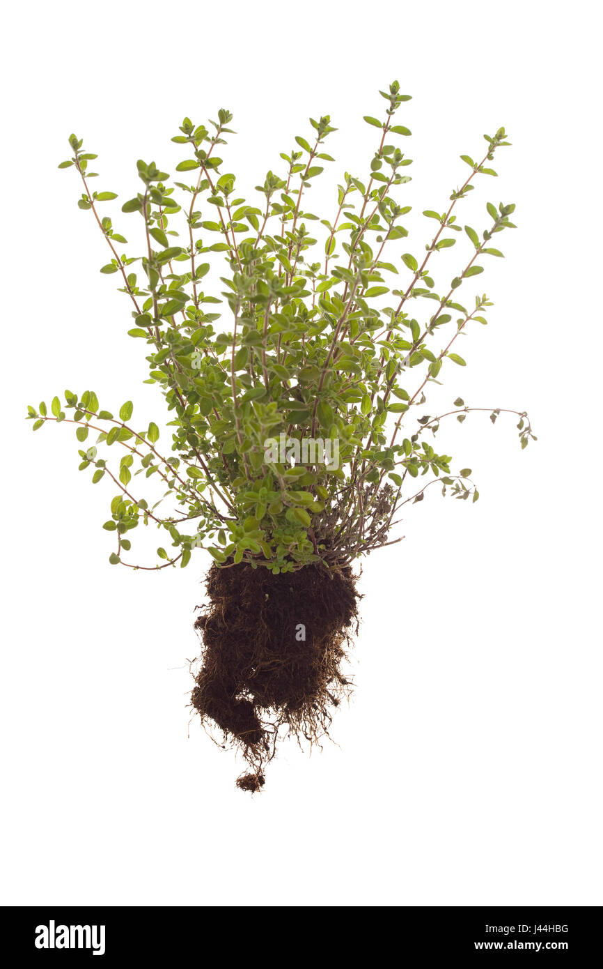 whole marjoram plant with roots on isolated white background - Stock Image