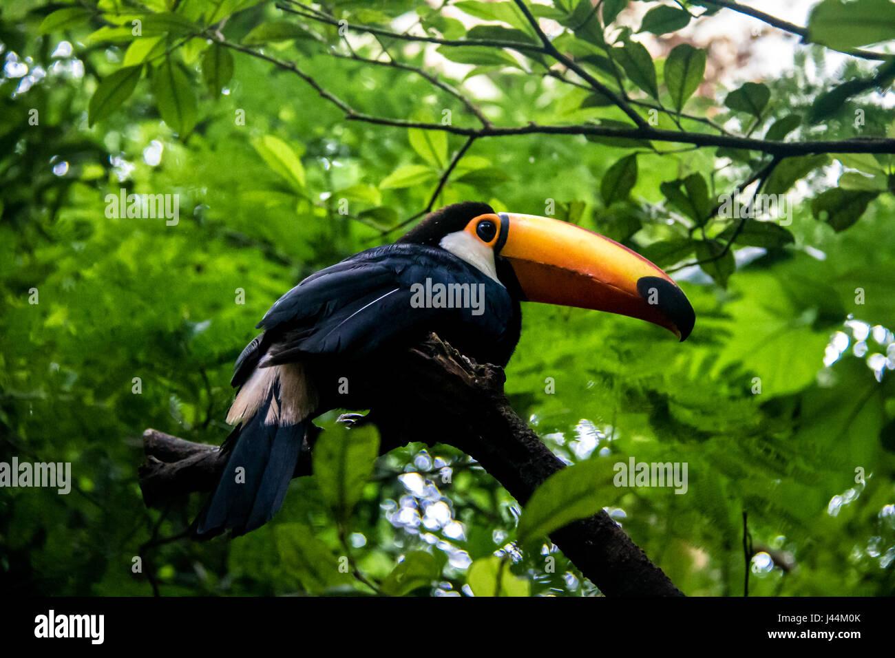 Toucan at Parque das Aves - Foz do Iguacu, Parana, Brazil - Stock Image