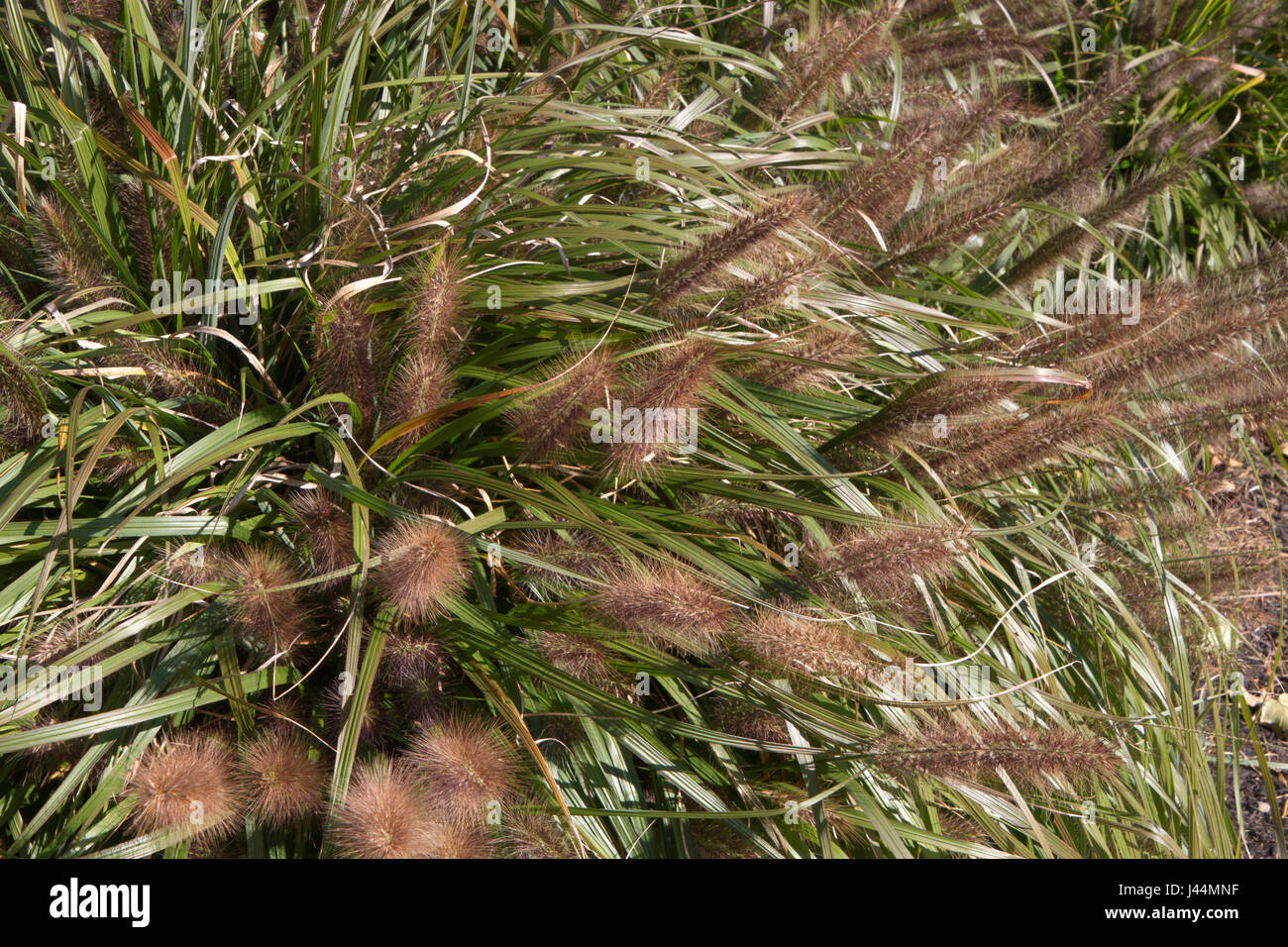 Close Up Of Red Head Fountain Grass Pennisetum Alopecuroides