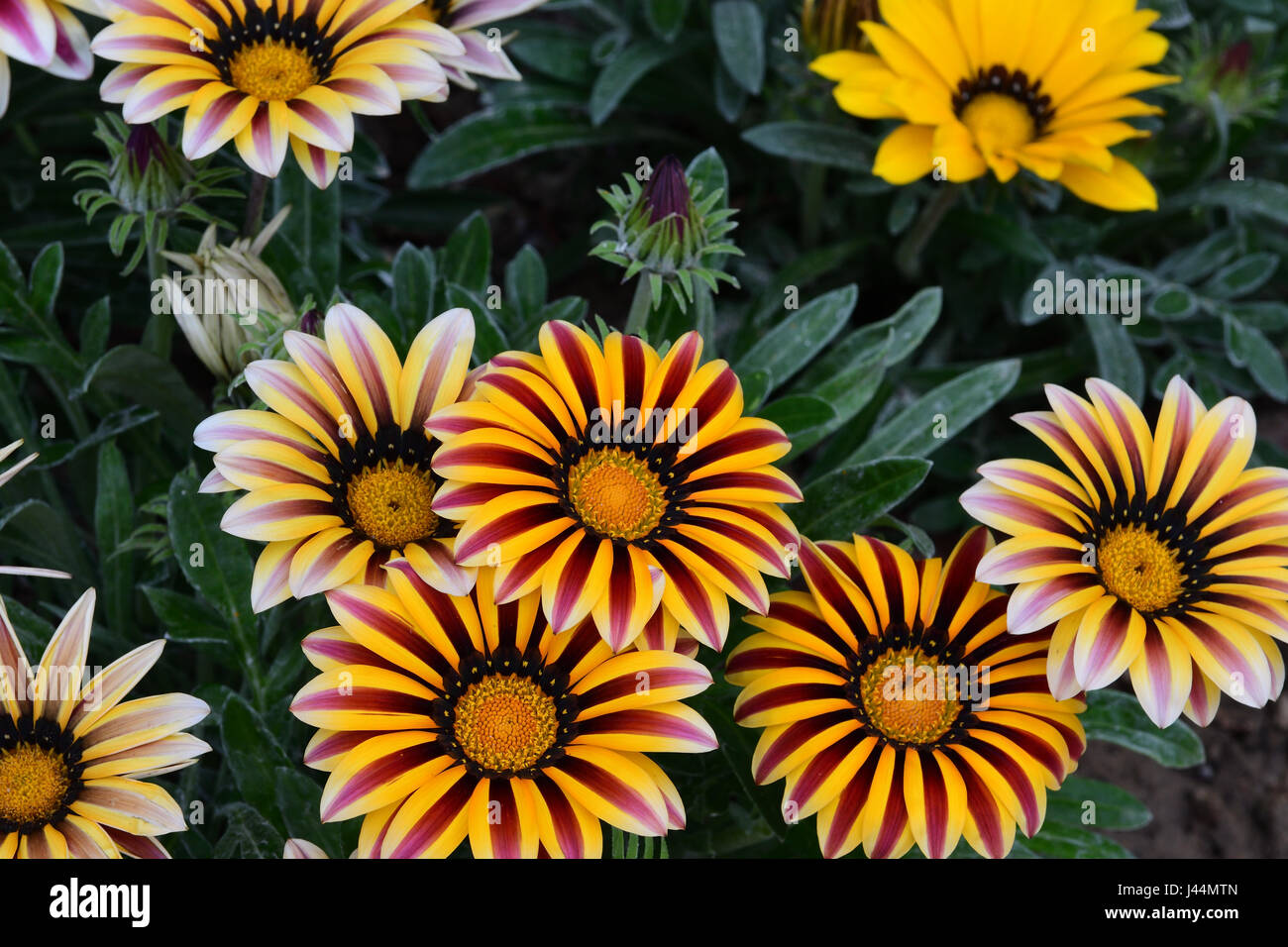 Bed of multi colored flowers - Stock Image