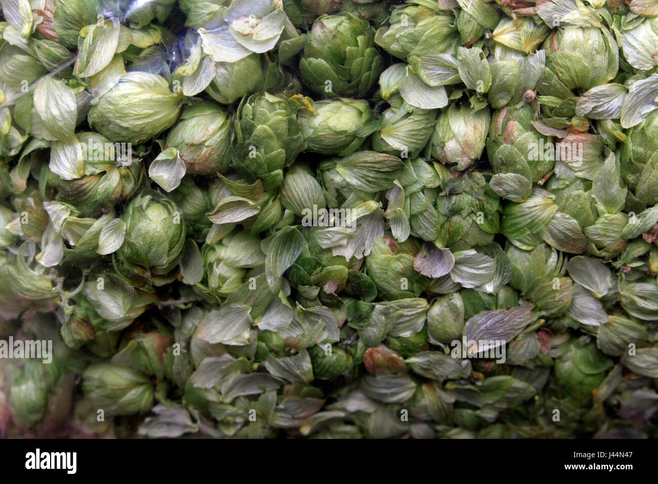 Picture by Tim Cuff - 26 October 2016 - Dried and bagged hops at Plant and Food, Motueka, Nelson, New Zealand: Stock Photo