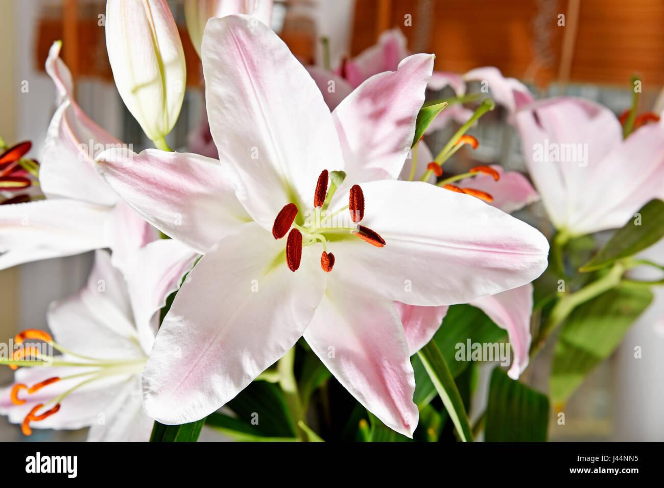 Pale Pink Oriental Lily Flower Stock Photo 140246433 Alamy