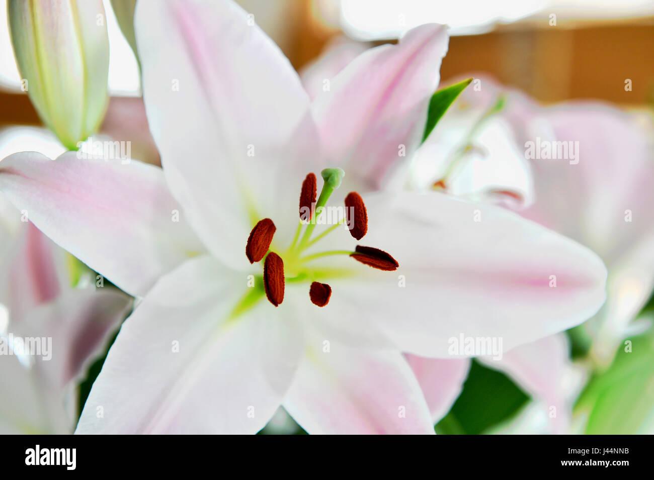 Pale Pink Oriental Lily Flower Stock Photo 140246439 Alamy