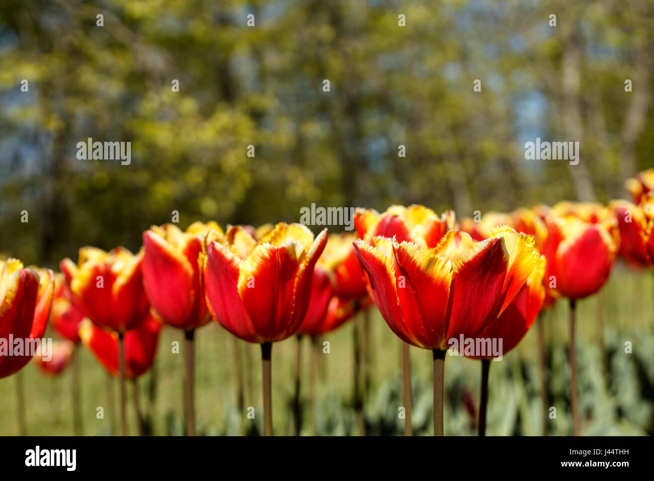 Vibrant spring natural background with beautiful Fringed tulips (Tulipa 'Joint Division'), red with yellow - Stock Image