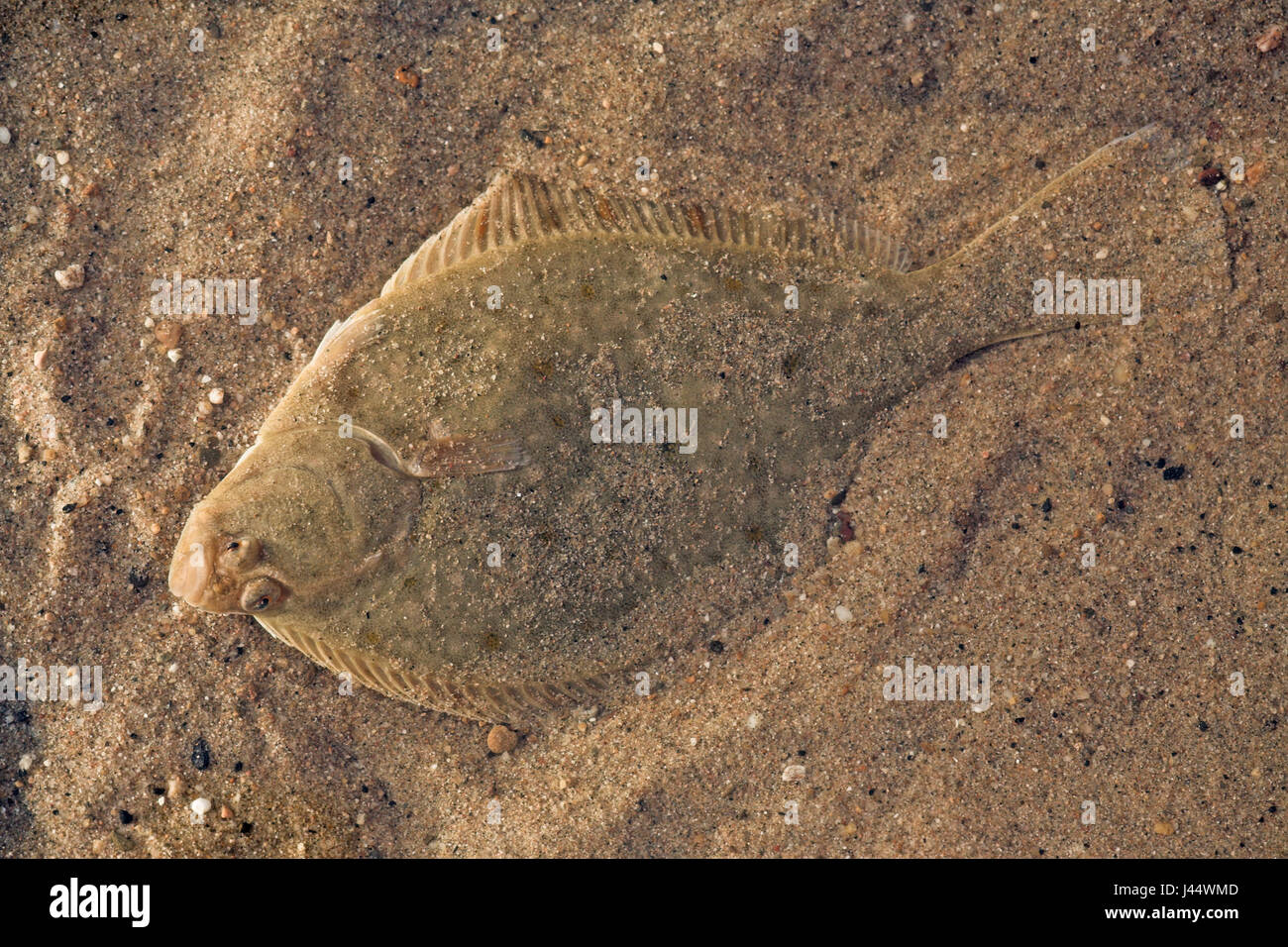 flounder photographed from above - Stock Image
