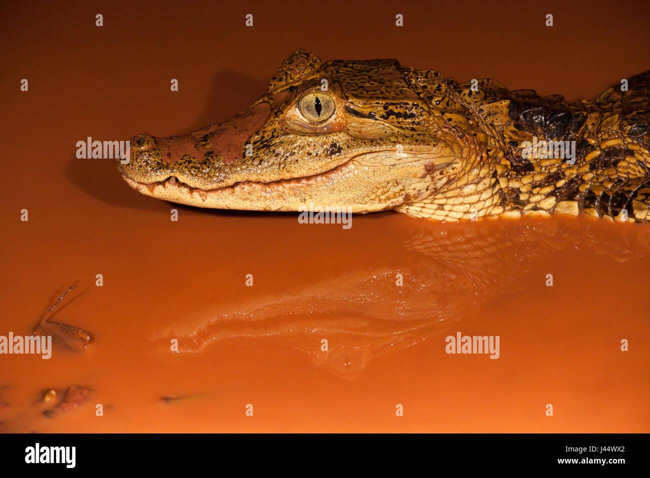 Foto van een brilkaaiman in een poel met rood modderig water; photo of a spectacled caiman in a pool with muddy - Stock Image