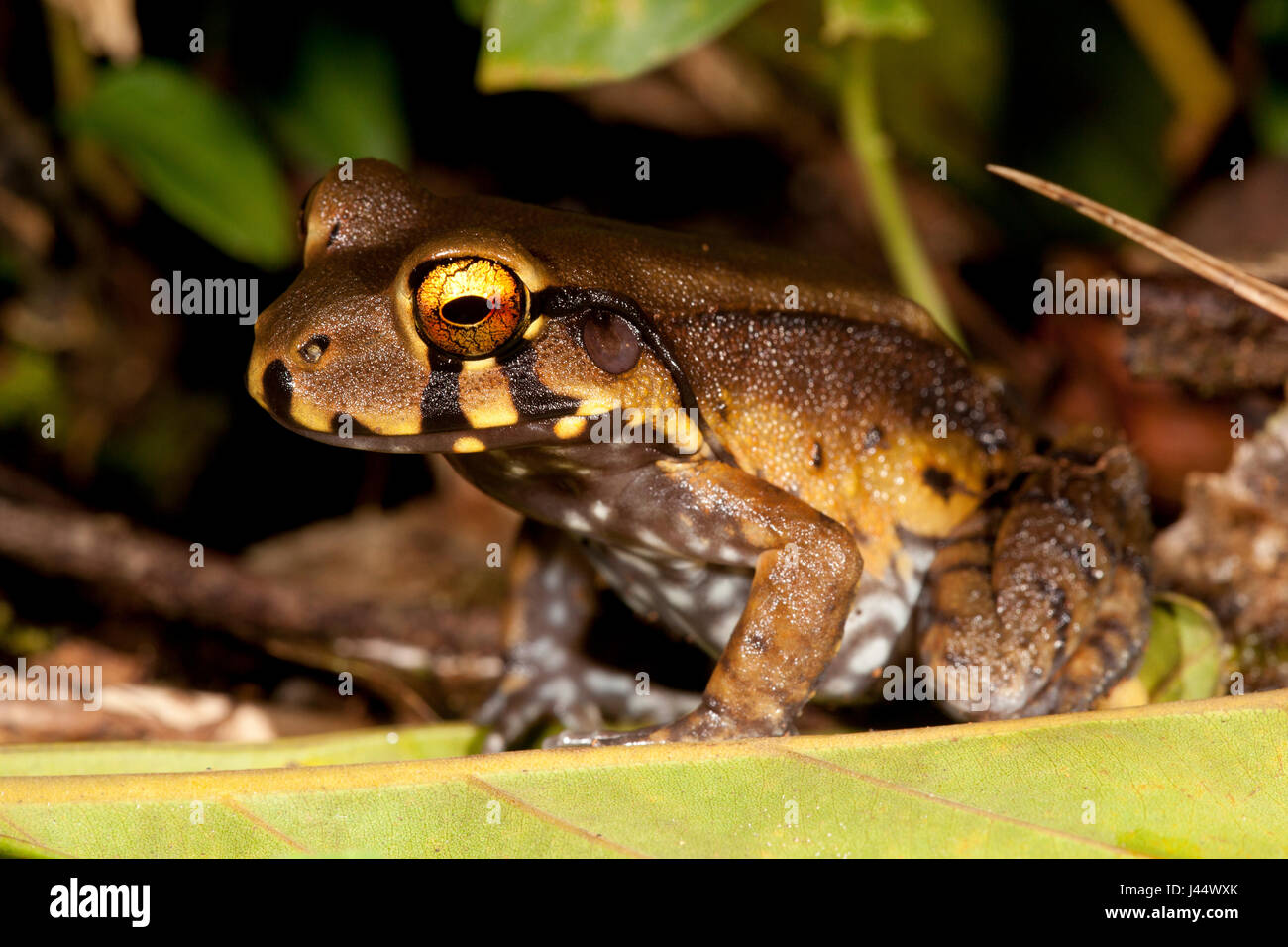 Photo of a Knudsen's thin-toed frog - Stock Image
