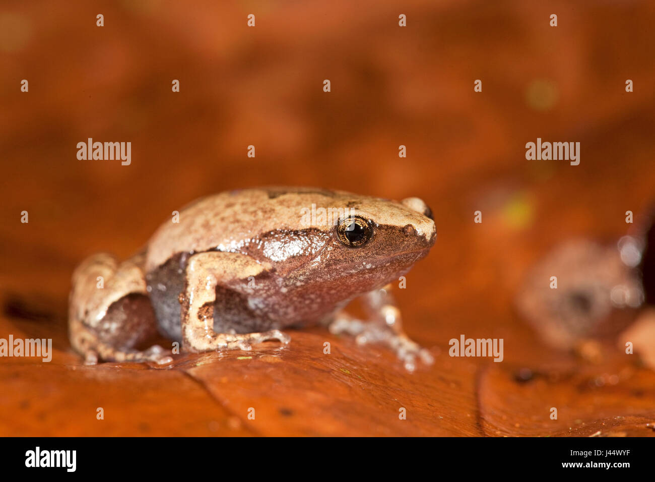 photo of an Amazon sheep frog on brown leafs - Stock Image