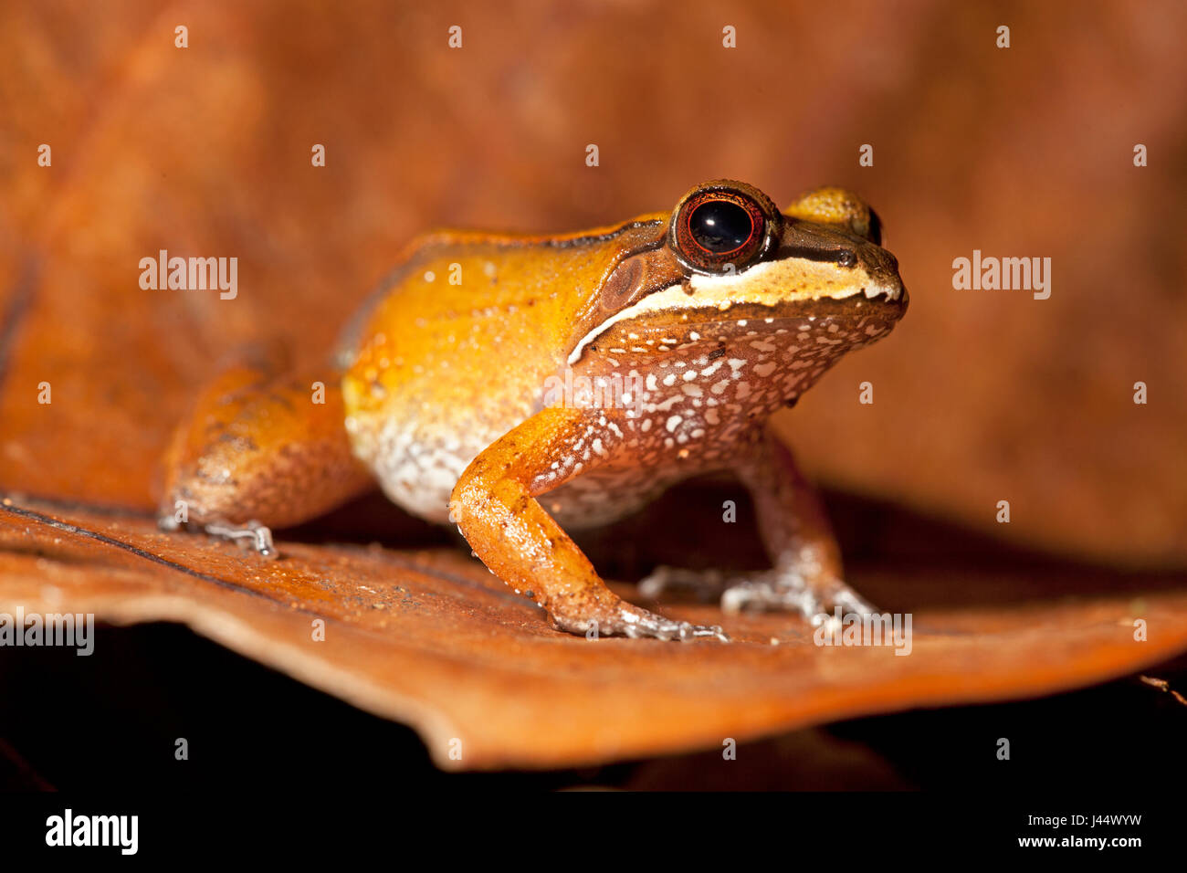 photo of a south american leopard frog - Stock Image
