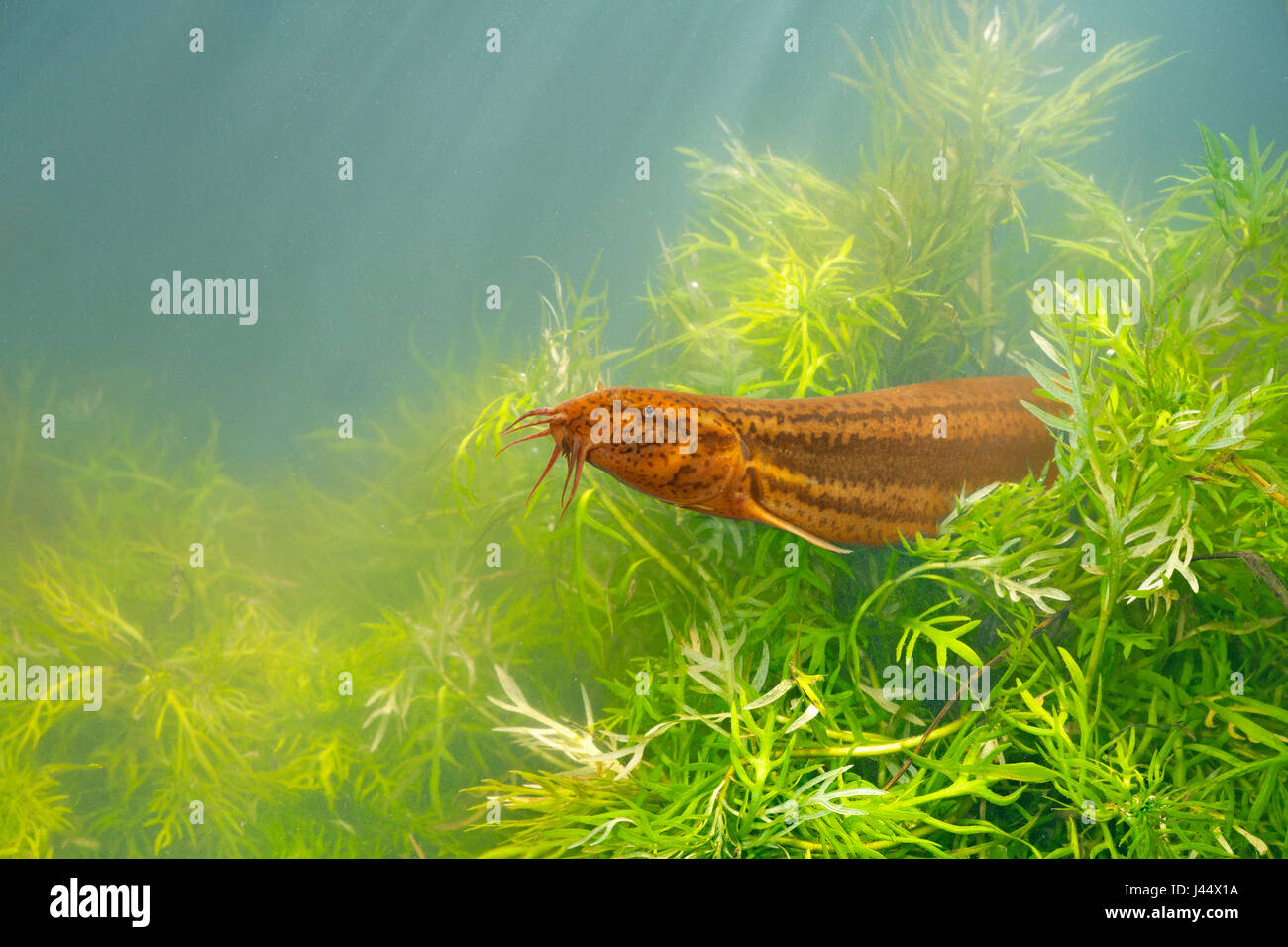 photo of a wheaterfish between Featherfoil against a blue grey background Stock Photo