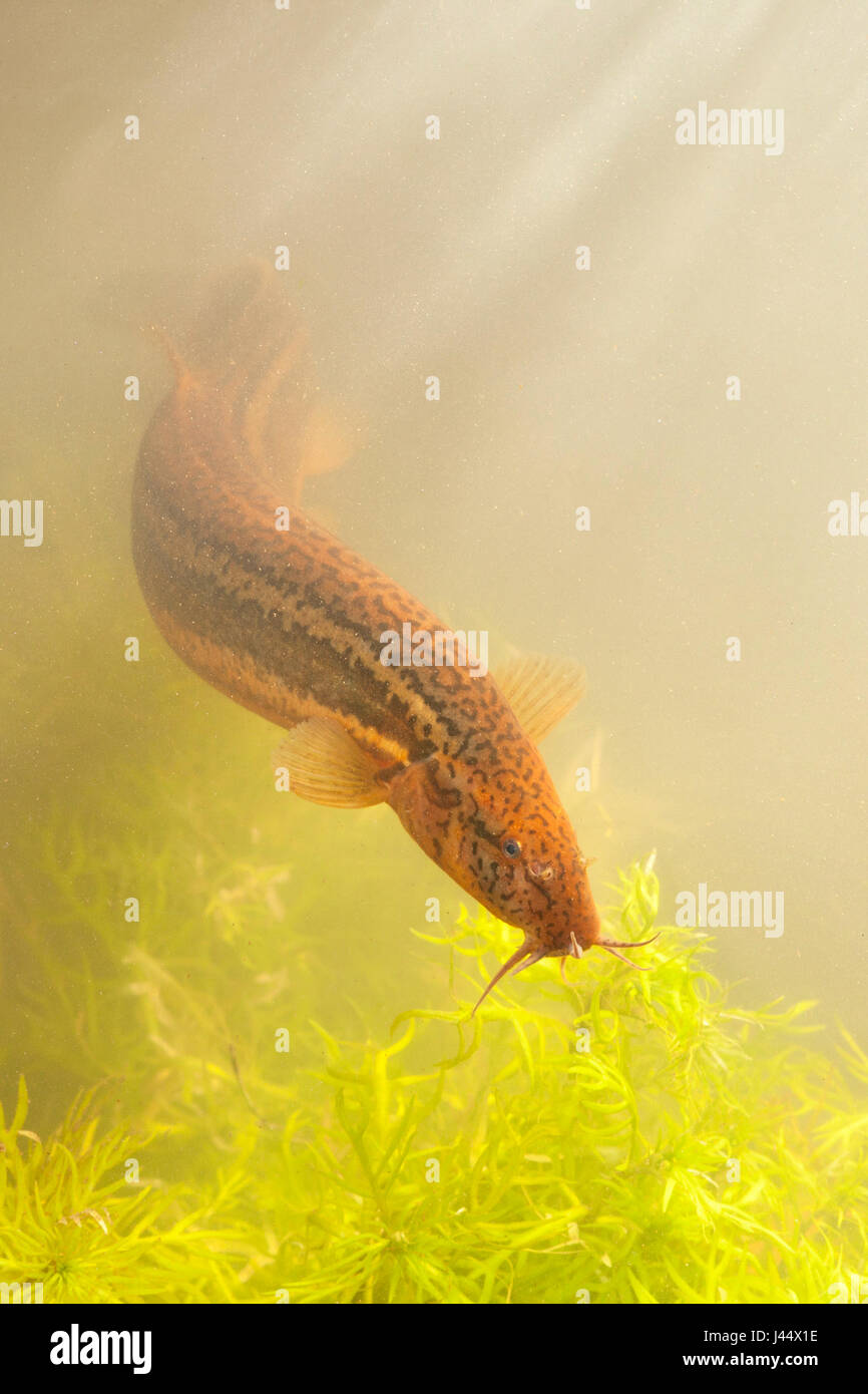 vertical photo of a pond loach swimming above featherfoil Stock Photo