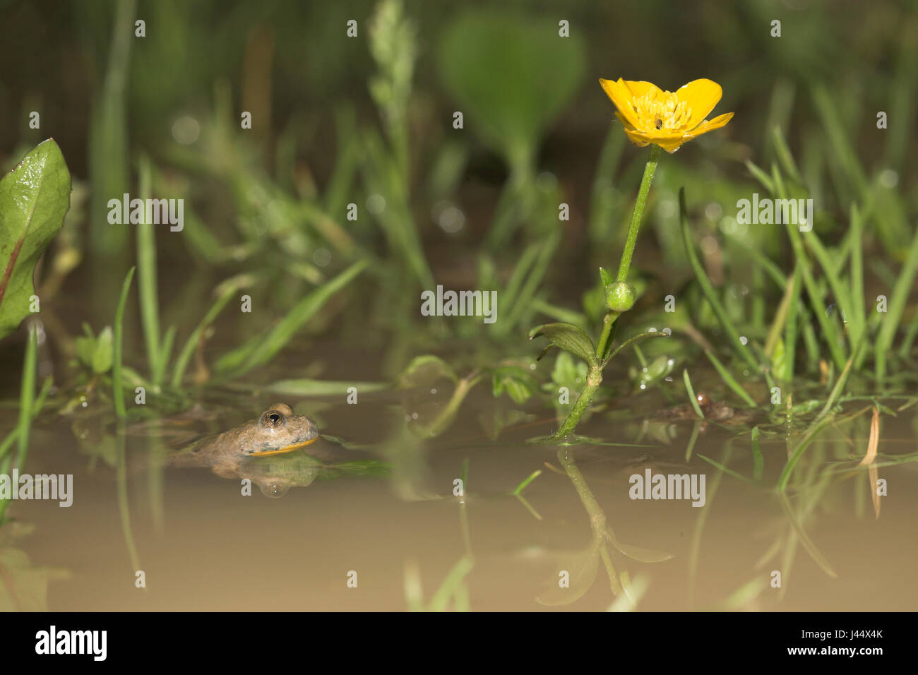 Yellow-bellied toad in its natural habit, yellow-bellied toads often reproduce in temporary waters - Stock Image