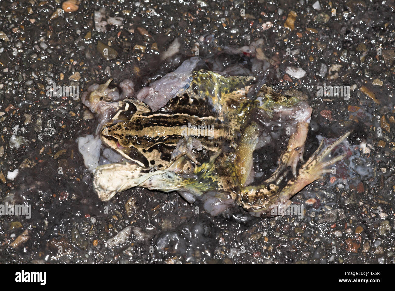a moor frog is killed by the traffic on a dike - Stock Image