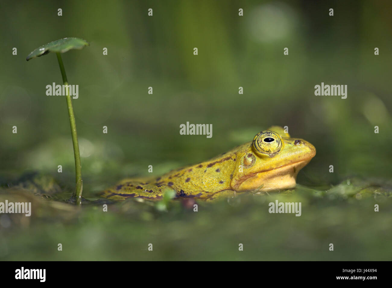 a male pool frog (yellow) rests under an umbrella like leaf - Stock Image