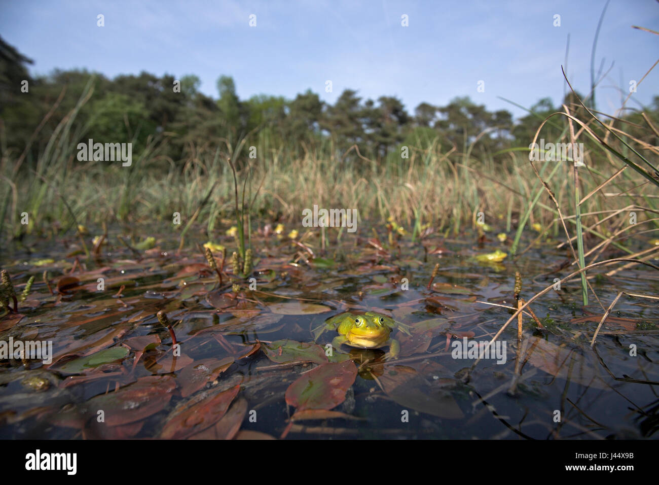 overview of a choir of male poolfrogs in early spring, males of the pool frog turn yellow during breeding season - Stock Image