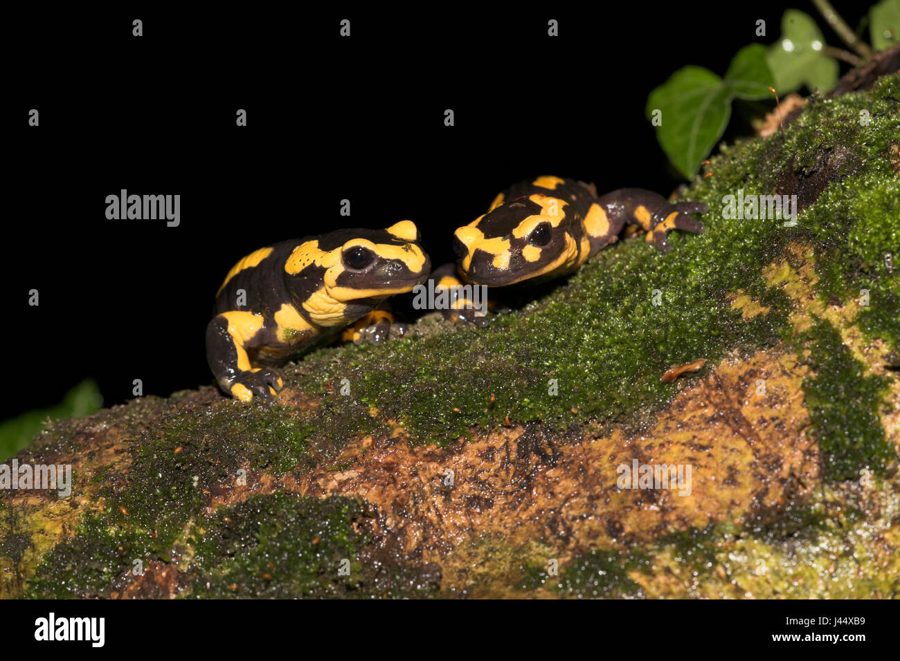 two fire salamanders look over a tree root - Stock Image
