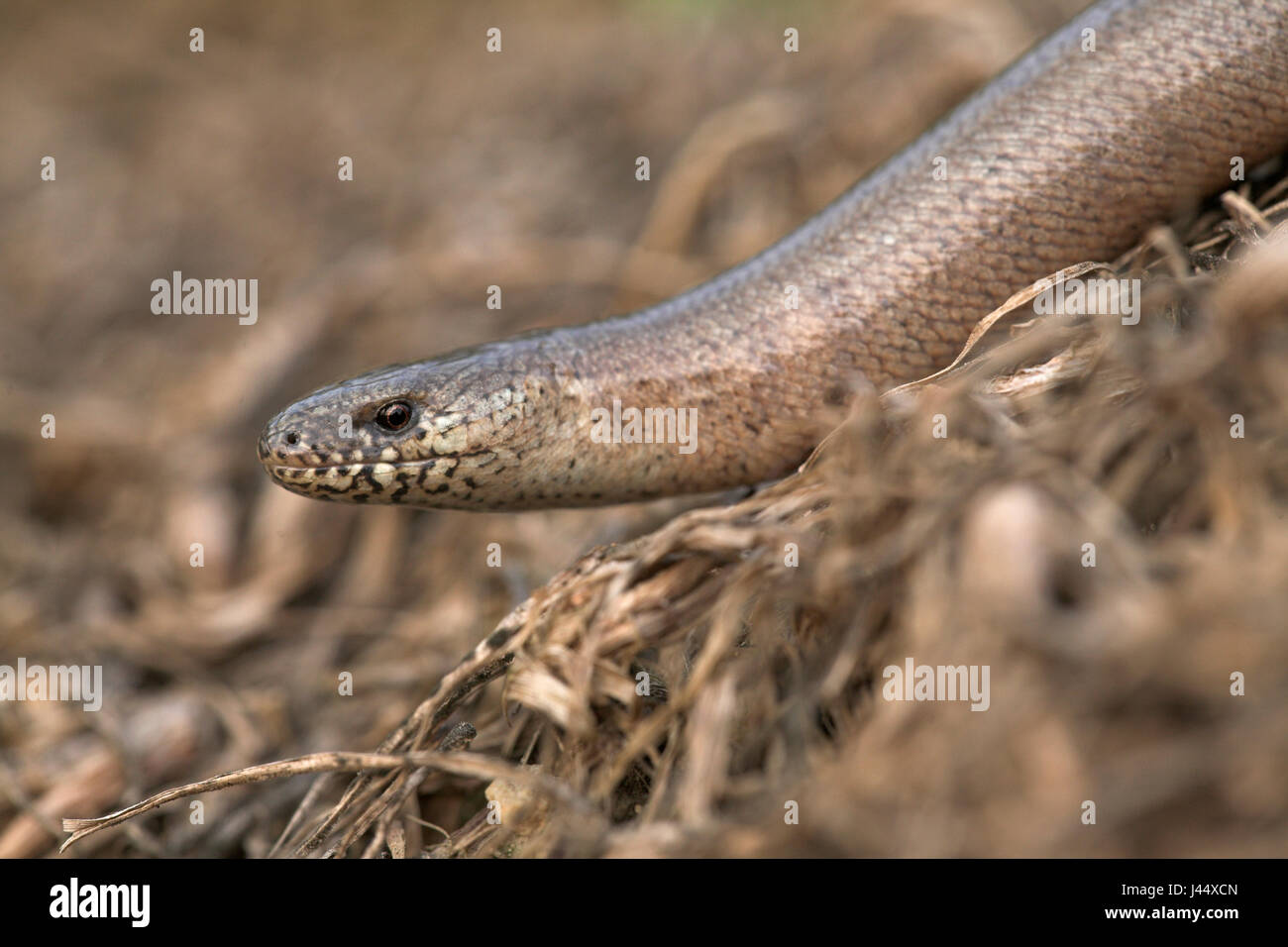 male slow worm Stock Photo