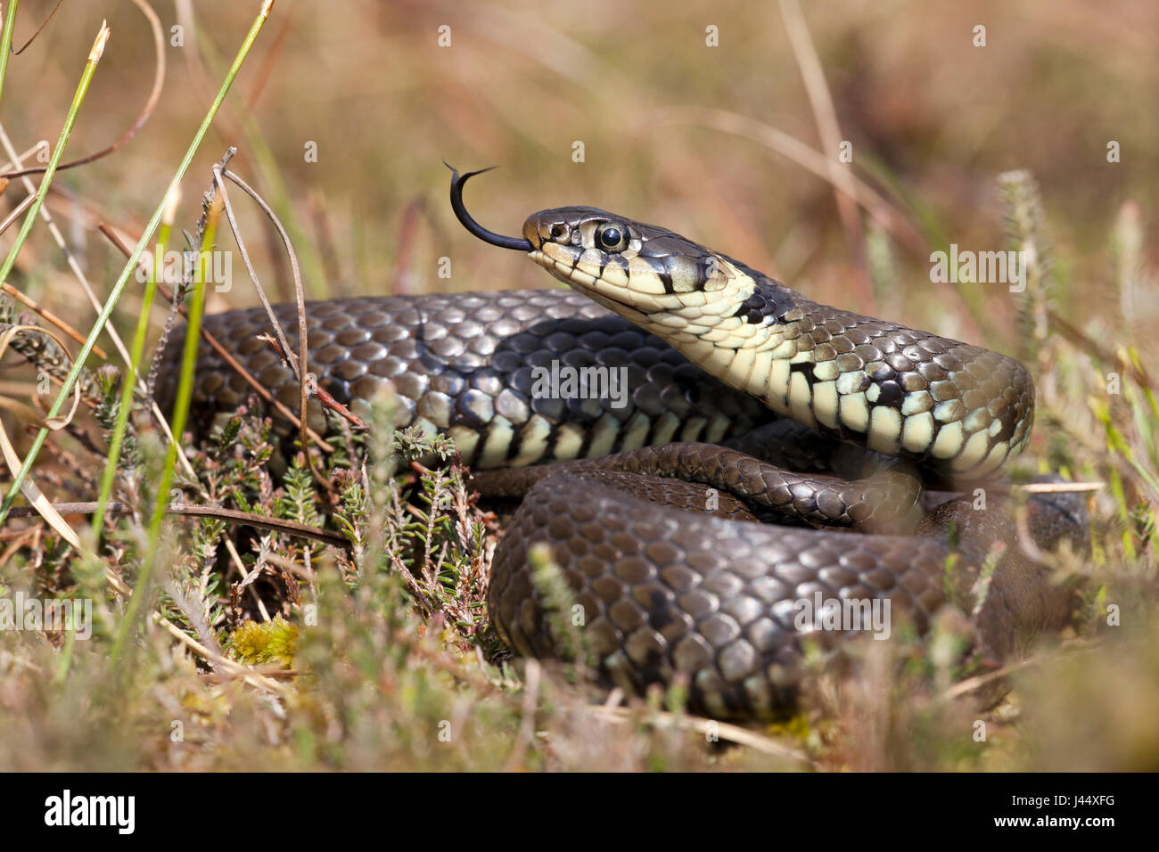 photo of a basking grass snake between heather vegetation - Stock Image