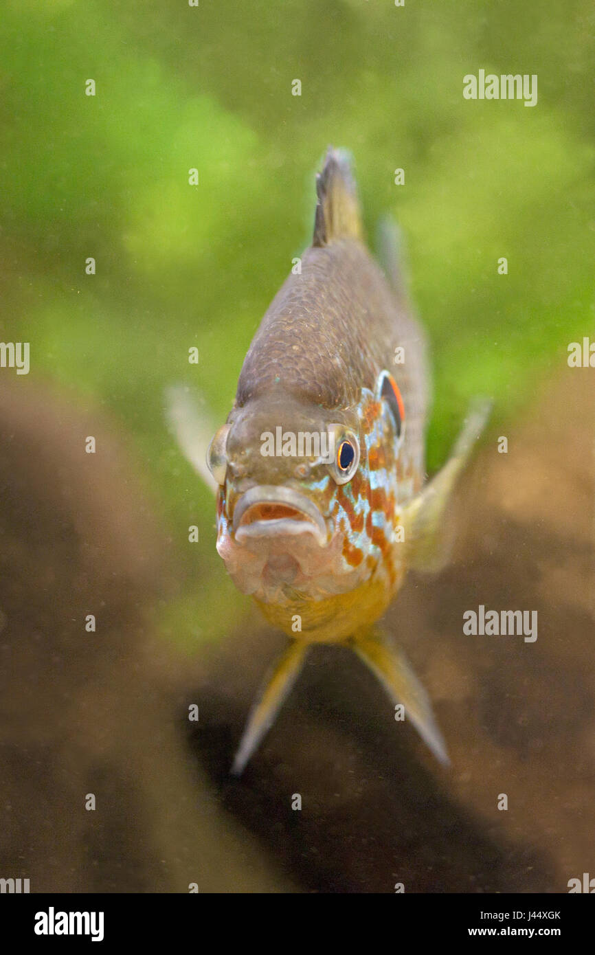 Pumpkinseed photographed frontal - Stock Image