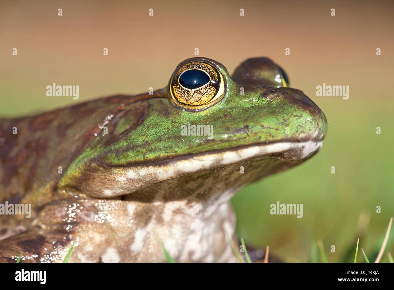 portrait of a North American Bullfrog - Stock Image