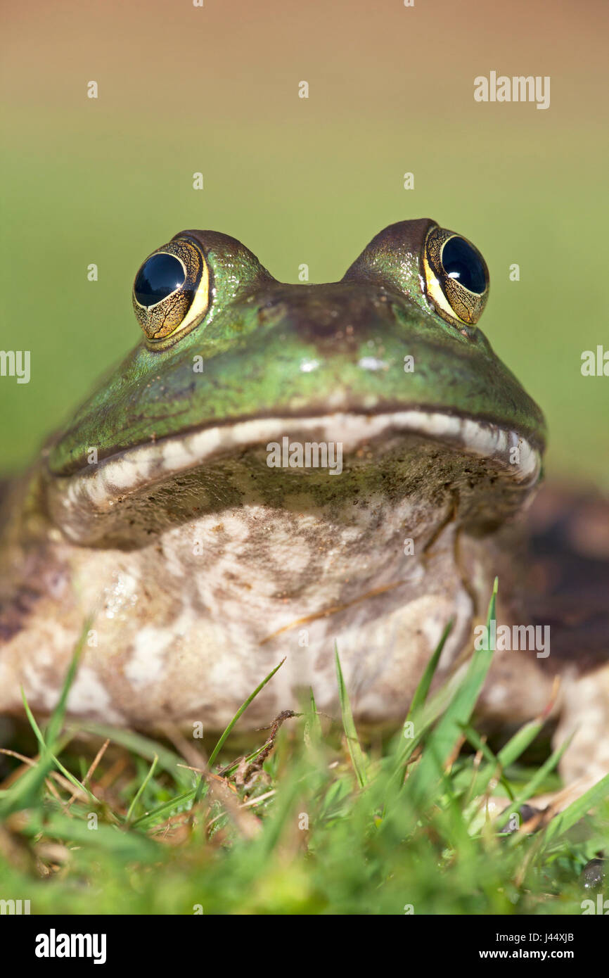 frontal vertical portrait of a North American Bullfrog - Stock Image