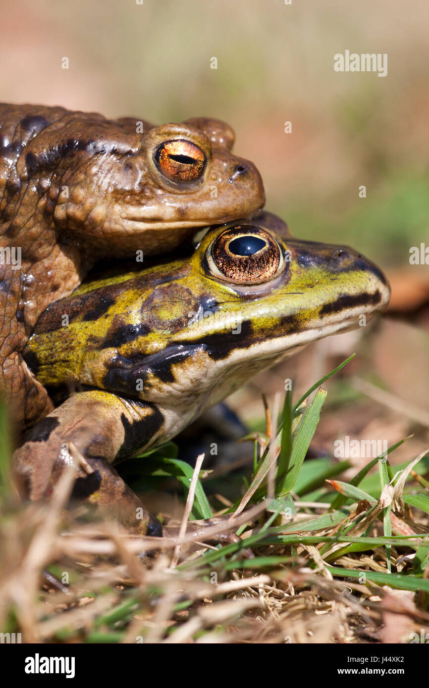 photo of a mistake mating bewteen a common toad and green frog - Stock Image
