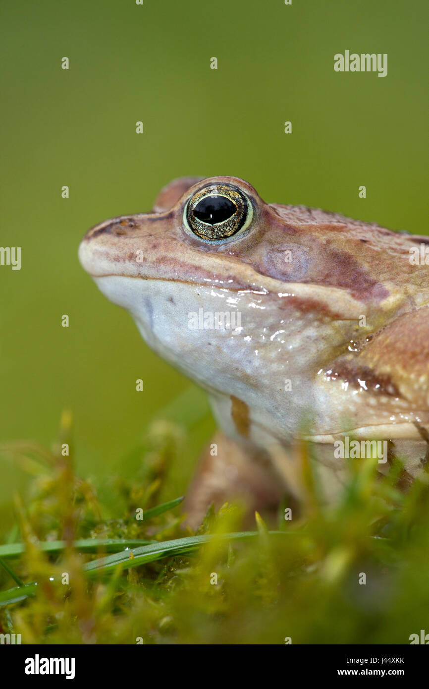 vertical portrait of a male moor frog against a green background - Stock Image