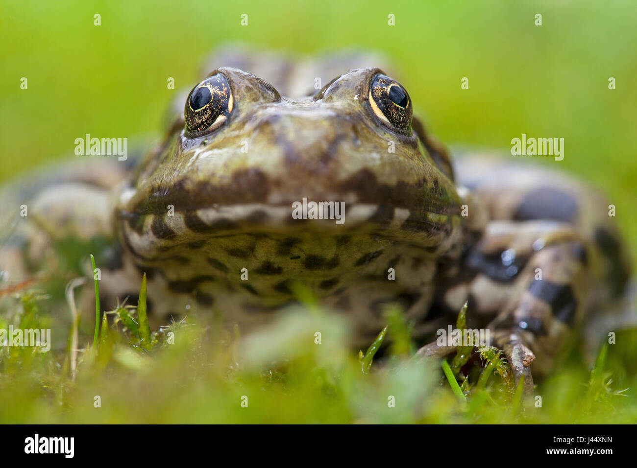 frontal portrait of a marsh frog - Stock Image