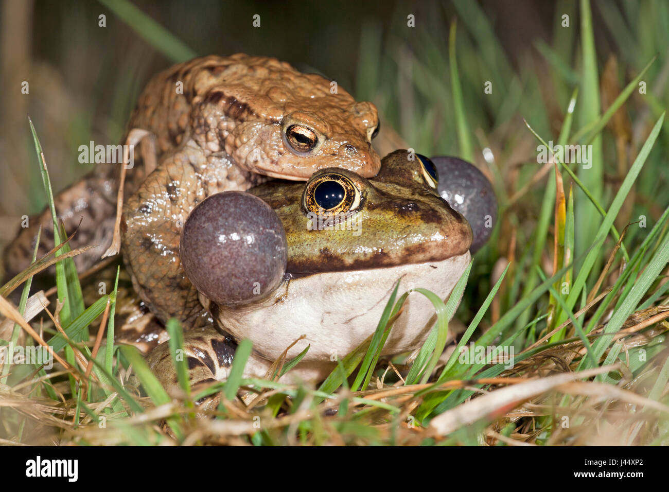 photo of a common toad on a marsh frog Stock Photo