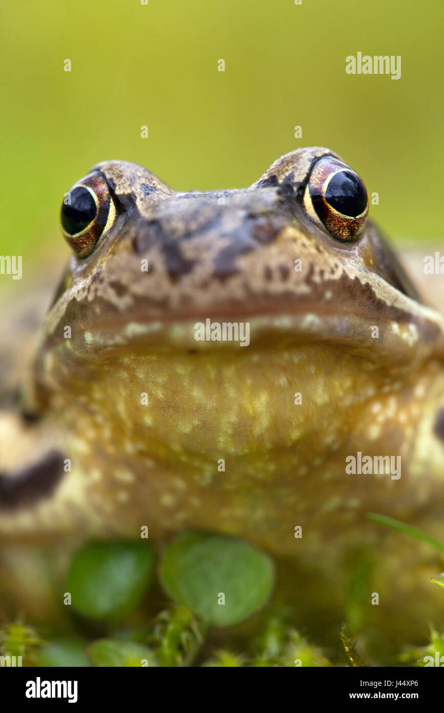 vertical portait of a female common frog against a green background - Stock Image