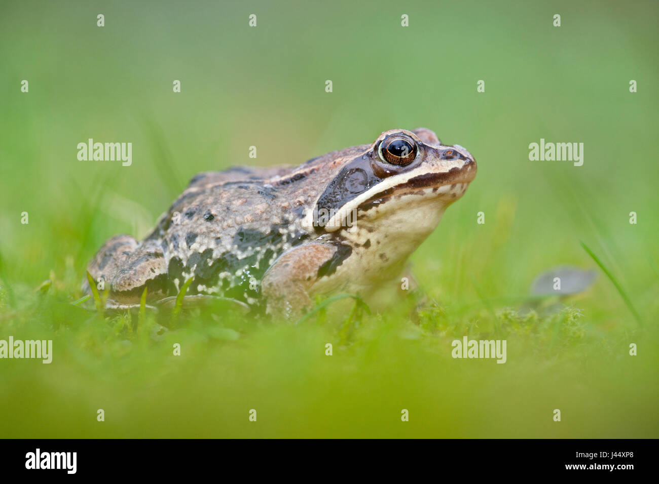 photo of a moor frog in green grass with a blurred green foreground and background - Stock Image