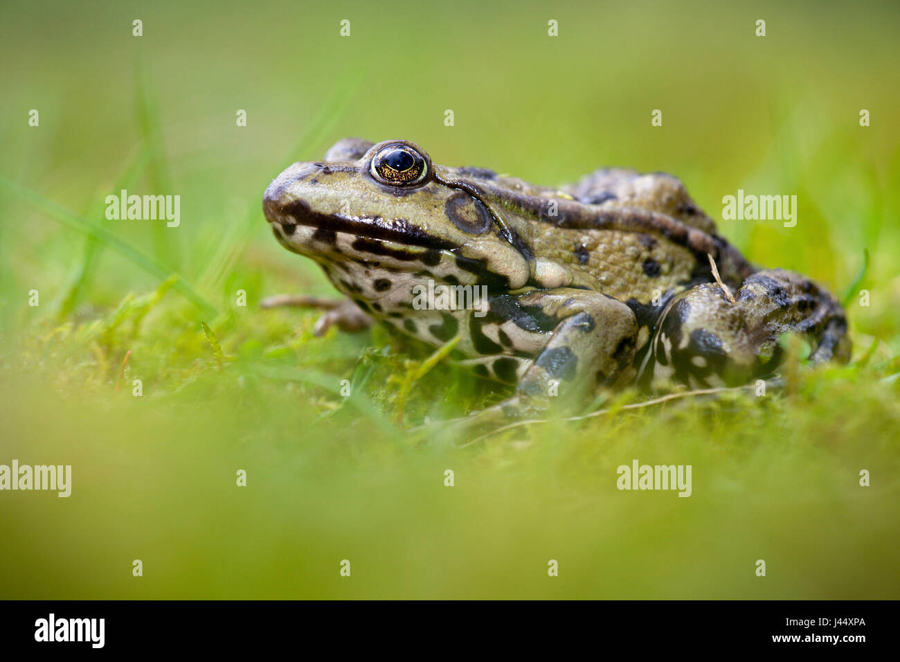 photo of a marsh frog in green grass against a green background Stock Photo