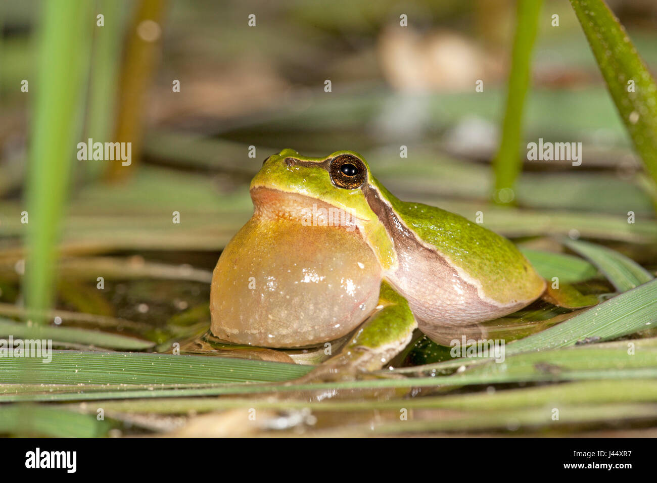 photo of a calling male common tree frog - Stock Image