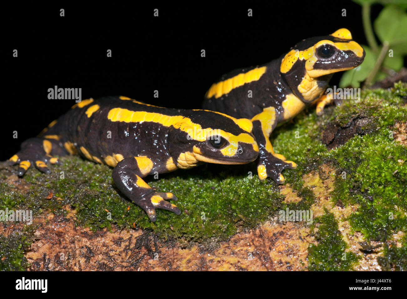 two fire salamanders walk over a tree root - Stock Image