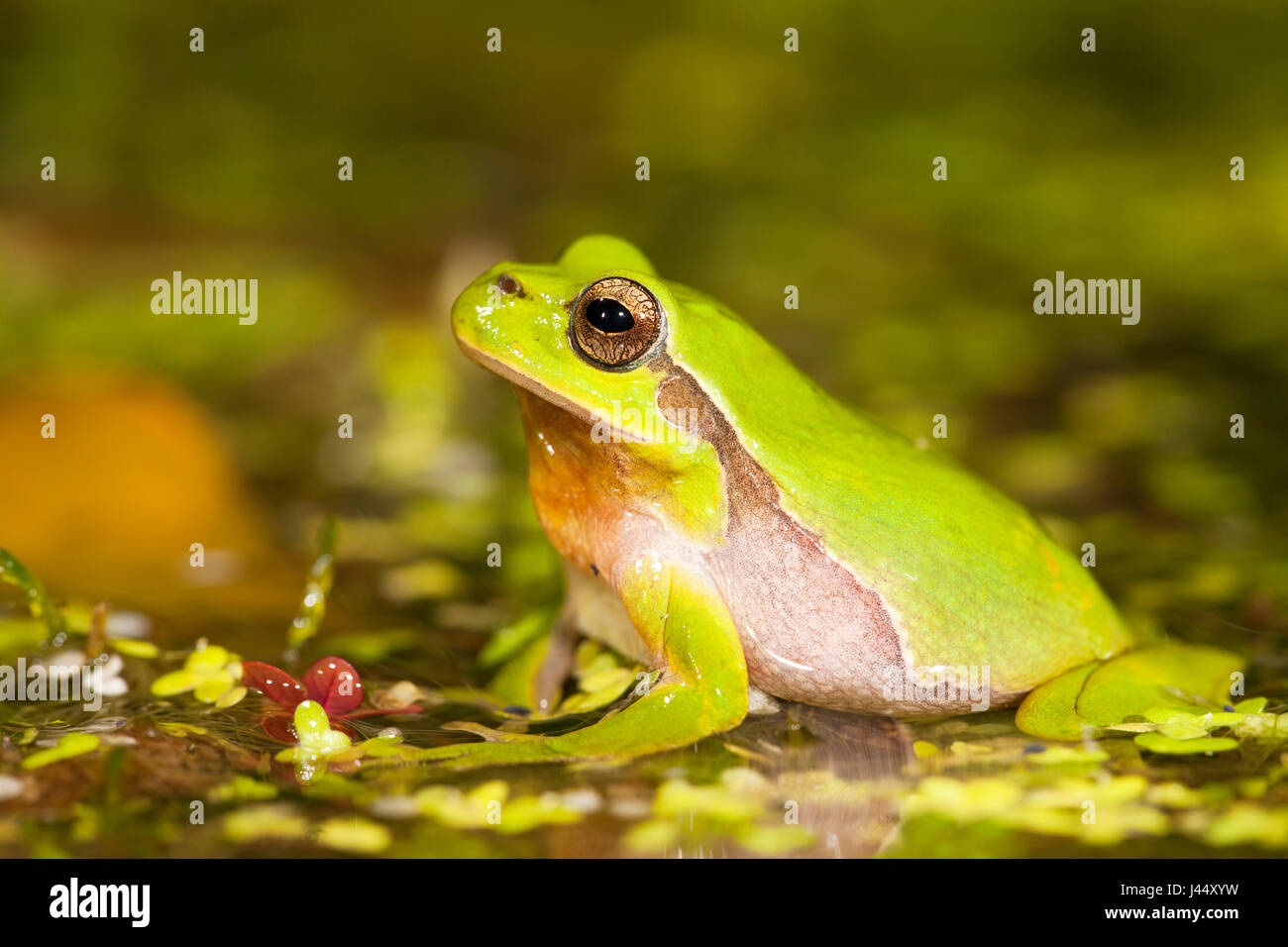 photo of a male common tree frog in the breeding pond at night - Stock Image