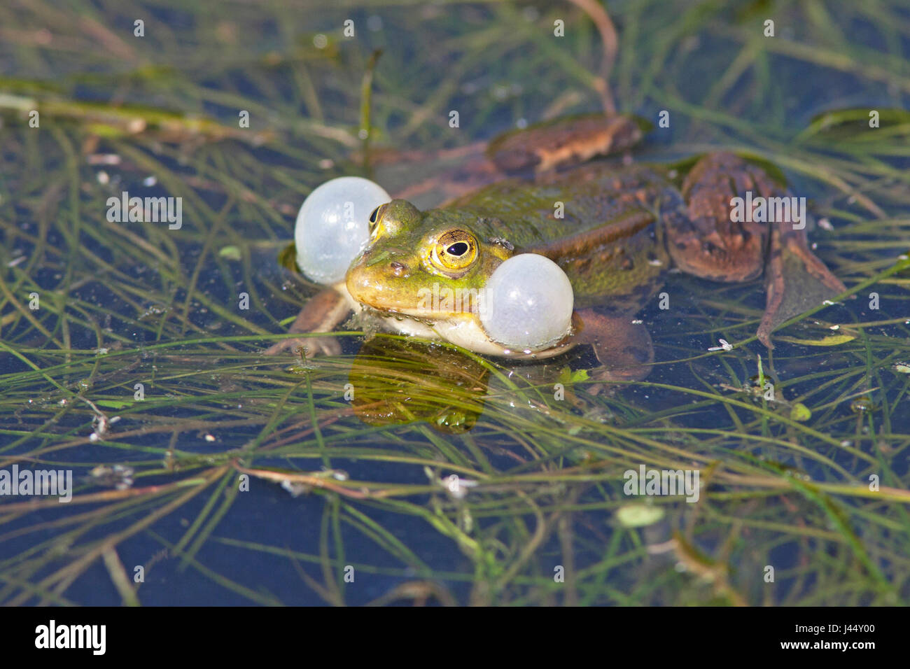 photo of a calling male pool frog - Stock Image